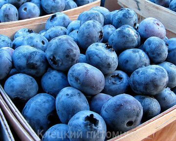 grow-your-own-blueberries